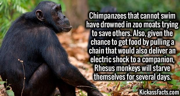 1818-Chimpanzees